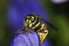 German wasp macro closeup. Portrait Royalty Free Stock Images