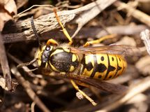 German wasp (paravespula germanica) macro Stock Image