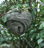 German Wasp's Nest Stock Photography
