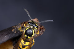 German wasp, vespula germanica Stock Image