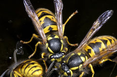 German wasp, vespula germanica Stock Photo