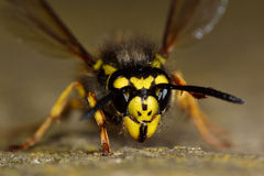 German wasp (Vespula germanica) face and head Royalty Free Stock Images