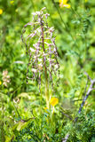German wild orchid, Lizard orchid Stock Images