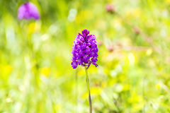 German wild orchid, Pyramidal Orchid Royalty Free Stock Image