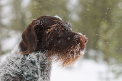 German wire-haired pointer Royalty Free Stock Photos