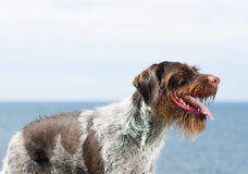 German wire-haired pointer Stock Photo