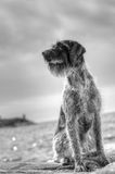 German wire-haired pointer Stock Image