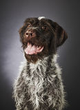 German wire-haired pointer Royalty Free Stock Photo