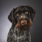 German wire-haired pointer Stock Images