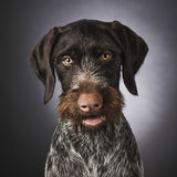 German wire-haired pointer Royalty Free Stock Photography