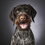 German wire-haired pointer Royalty Free Stock Images