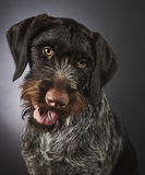German wire-haired pointer Stock Photos