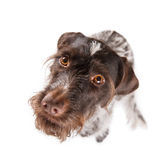 German wire-haired pointer staring. Staring and sitting German wire-haired pointer with white background Royalty Free Stock Photo