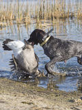 German Wireahair Pointer Stock Photography