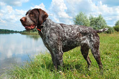German wirehaired pointer. Standing on the river Royalty Free Stock Photos