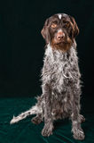 German wirehaired pointer Royalty Free Stock Images