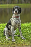 German Wirehaired Pointer Stock Photos