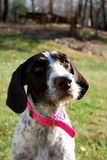 German Wirehaired Pointer Royalty Free Stock Photography