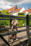 German Wirehaired Pointer Stock Photography