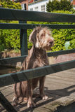 German Wirehaired Pointer. Beautiful, practical, able to perform different tasks, drathaar good and faithful friend Royalty Free Stock Photos