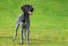 German Wirehaired Pointer (Deutsch Drahthaar) poses. German Wirehaired Pointer (Deutsch Drahthaar) is standing in a park looking upwards Stock Photography