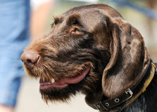 German Wirehaired Pointer dog portrait Stock Photo