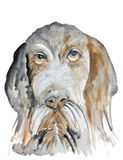German Wirehaired Pointer Royalty Free Stock Photo