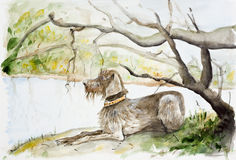 German Wirehaired Pointer royalty free illustration