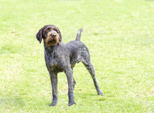 German Wirehaired Pointer Stock Images