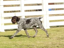 German Wirehaired Pointer Royalty Free Stock Photos