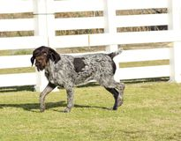 German Wirehaired Pointer Royalty Free Stock Image
