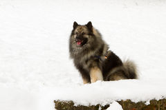 German Wolfspitz. German Wolfsspitz - A young purebred Keeshond (German Wolfsspitz) in his winter fur waiting in the snow Royalty Free Stock Images