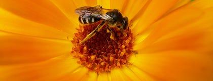 European Wasp, German Wasp or German Yellowjacket inside Marigold. German Yellowjacket known as European Wasp inside orange Marigold Royalty Free Stock Photos