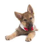 Germand Shepherd puppy with funny collar Royalty Free Stock Images