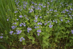 Germander speedwell. Medicinal plant germander speedwell on meadow Royalty Free Stock Photography