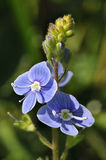 Germander Speedwell Royalty Free Stock Photography