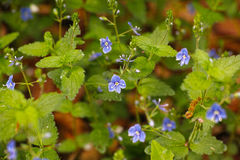 Germander speedwell blossom Stock Photography