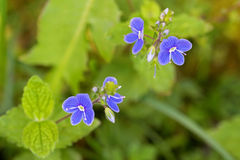 Germander Speedwell flower in blue purple blossoming in the gard Royalty Free Stock Image