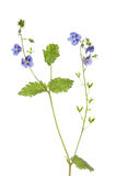 Germander Speedwell flowers and foliage. Germander Speedwell, Veronica chamaedrys, flowers and foliage isolated against white Stock Photo