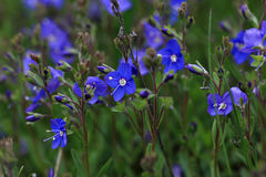 Germander Speedwell - Veronica Chamaedrys Royalty Free Stock Photography
