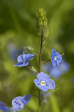 Germander Speedwell Stock Photography