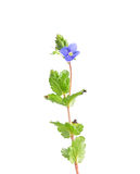 Germander speedwell (Veronica chamaedrys) Stock Photography