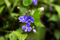Germander Speedwell - Veronica Chamaedrys flores azules del ojo del p?jaro o de gato peque?as