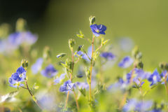 Germander speedwell & x28;Veronica chamaedrys& x29; flowers Stock Photography