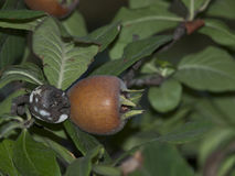 Germanica μουσμουλιά-Mespilus Στοκ φωτογραφία με δικαίωμα ελεύθερης χρήσης
