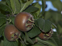 Germanica μουσμουλιά-Mespilus Στοκ εικόνες με δικαίωμα ελεύθερης χρήσης