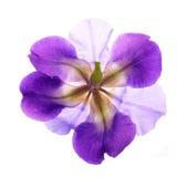 Germanica της Iris Στοκ Φωτογραφίες