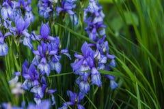 Germanica της Iris Στοκ Εικόνα