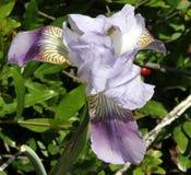 Germanica d'iris, iris germanique images stock