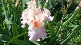 Germanica del iris